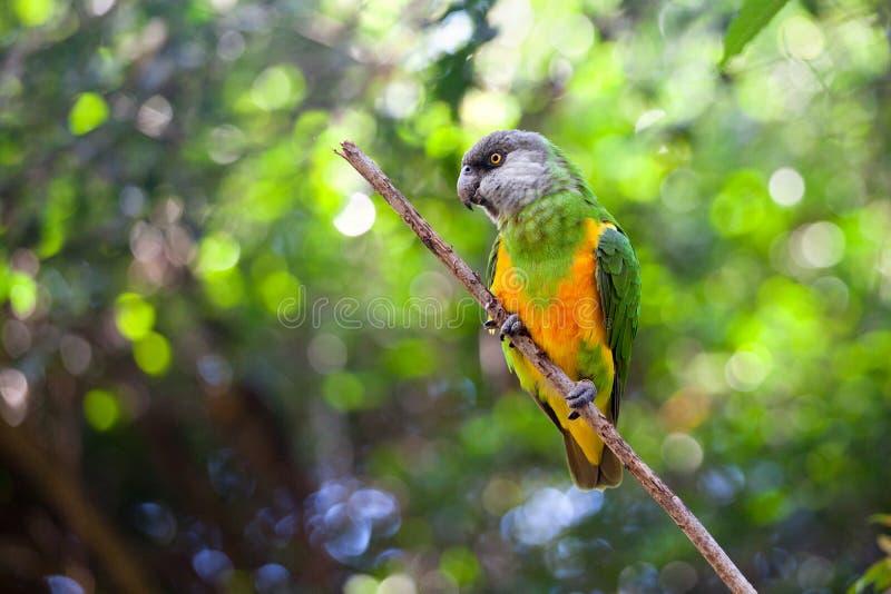 Senegal-Papagei oder Poicephalus-senegalus, das oben auf grünem Baumhintergrundabschluß sitzt lizenzfreie stockfotografie