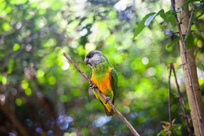 Senegal-Papagei oder Poicephalus-senegalus, das oben auf grünem Baumhintergrundabschluß sitzt stockfotografie