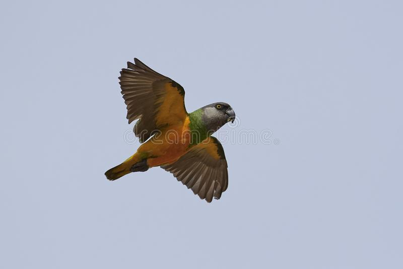 Senegal-Papagei Poicephalus-senegalus lizenzfreie stockfotografie
