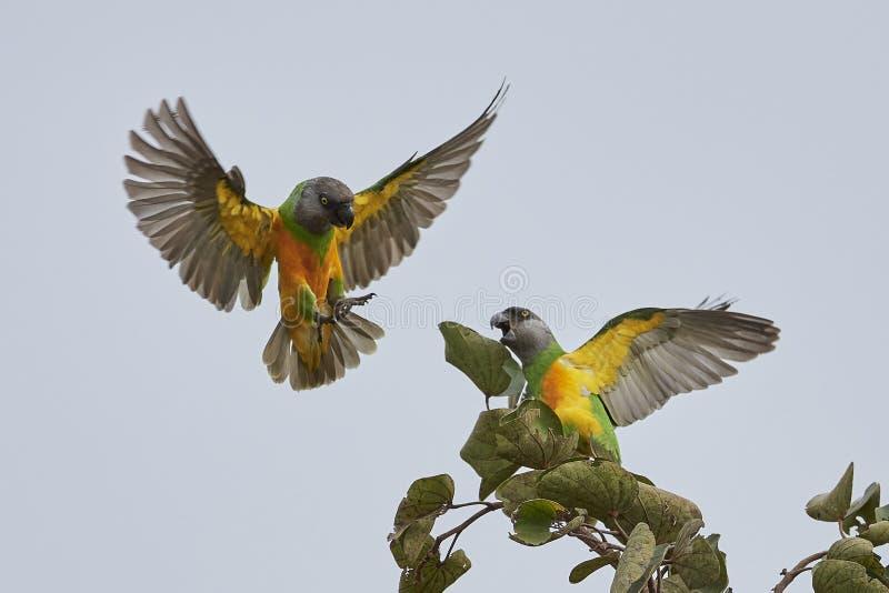 Senegal-Papagei Poicephalus-senegalus lizenzfreie stockfotos
