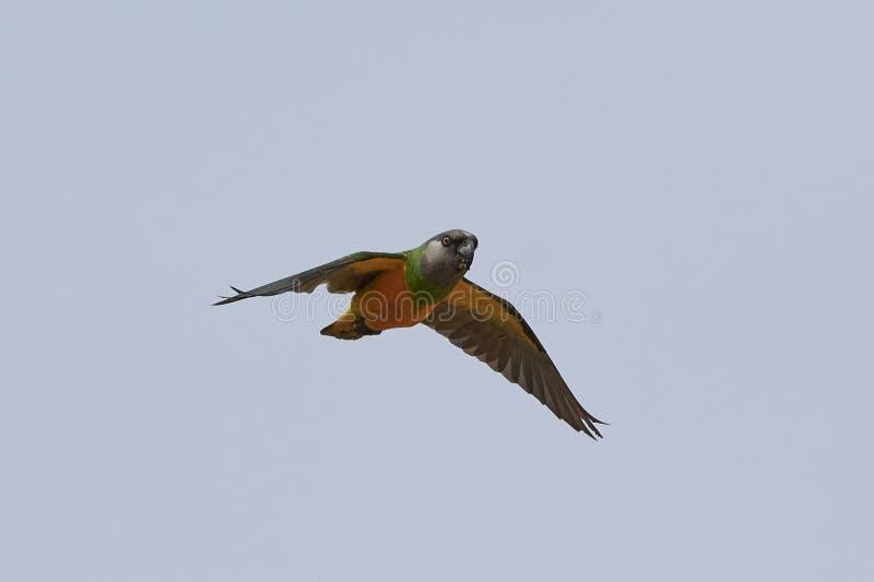Senegal-Papagei Poicephalus-senegalus stockfotografie