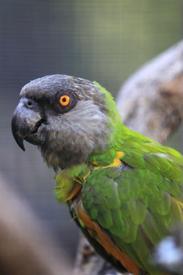 Senegal papegoja arkivfoton