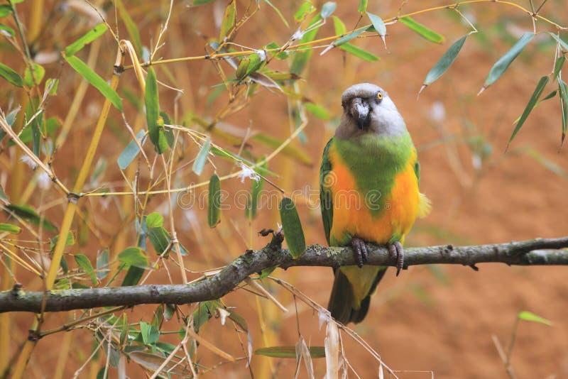 Senegal papegoja royaltyfri fotografi