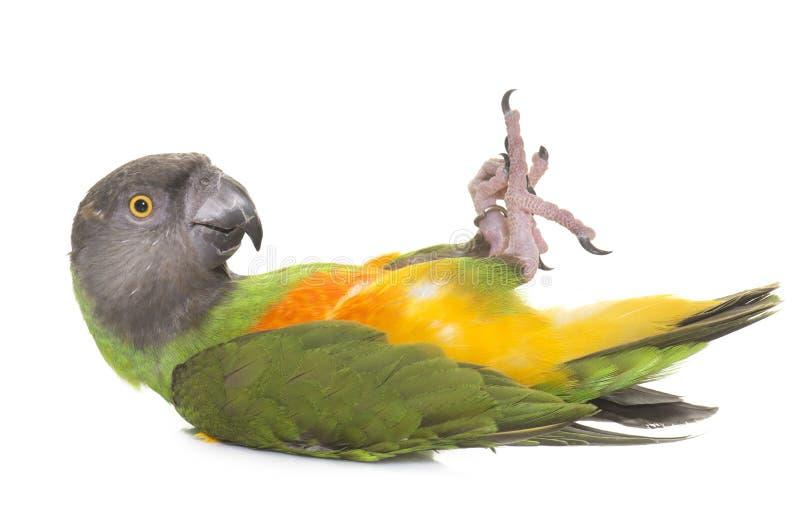 Senegal papuga w studiu obraz stock