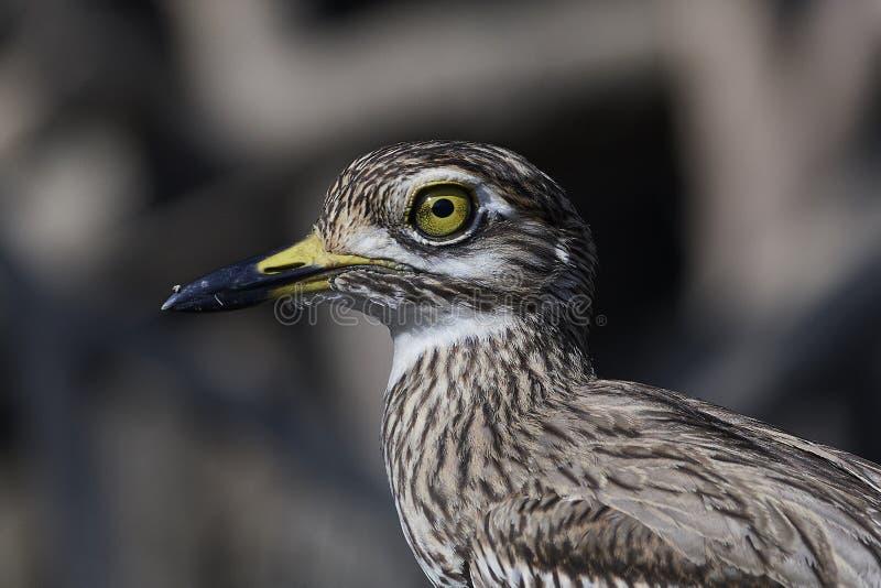 Senegal-starkknie Burhinus senegalensis stockbild
