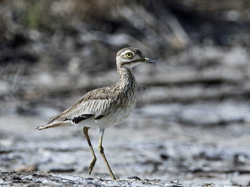 Senegal-starkknie Burhinus senegalensis stockfotos
