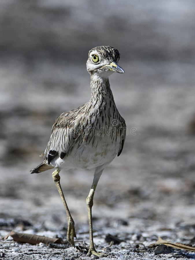 Senegal-starkknie Burhinus senegalensis lizenzfreie stockbilder