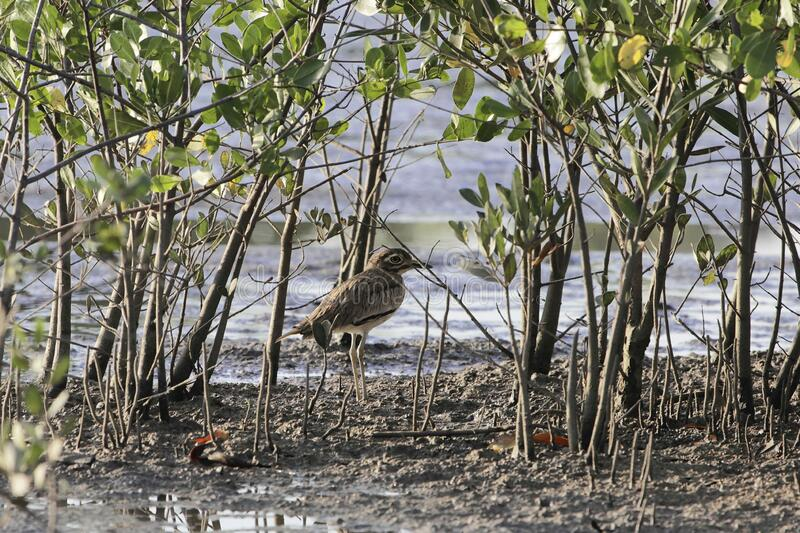 Senegal thick knee, Burhinus senegalensis, on a mudflat of a mangrove forest stock photo