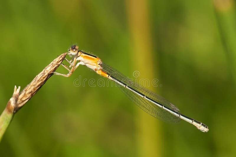 Senegalees lantaarntje, bagno Bluetail, Ischnura senegalensis zdjęcie royalty free