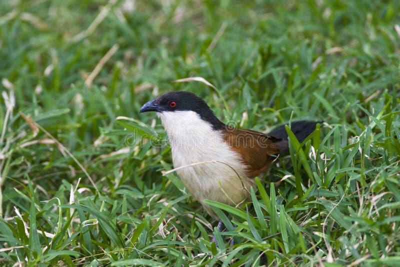 Senegalese Spoorkoekoek; Senegal Coucal; Centropus senegalensis stockbilder