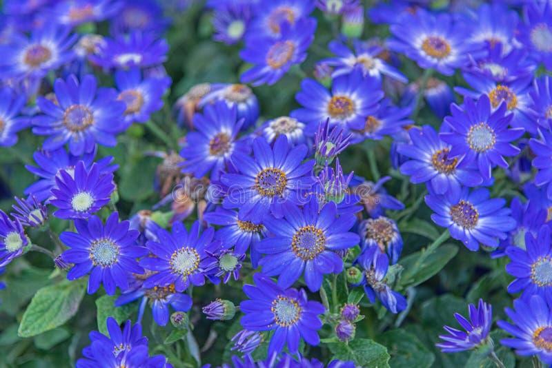 Senetti-Cinerarien, hybrida del Pericallis, cineraria, el cineraria del florista, ragwort común Planta azul ornamental para el de imagen de archivo