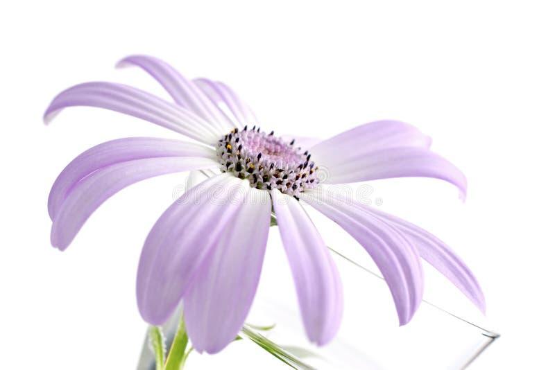 Senetti, soort Daisy stock afbeelding