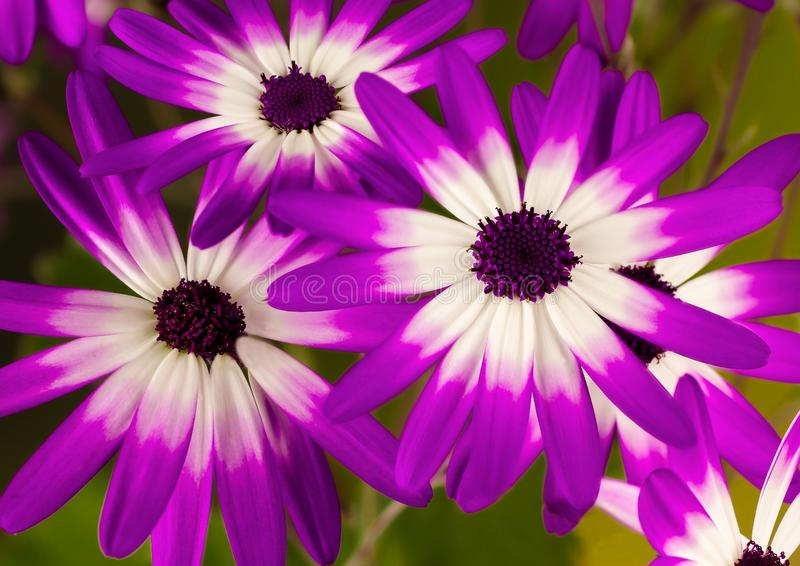 Senetti Trio of pink and purple flowers stock image