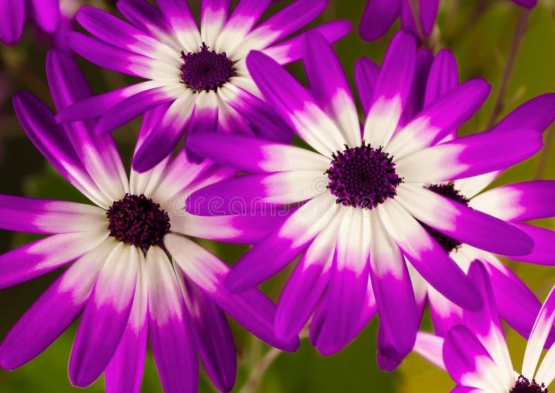 Senettitrio van roze en purpere bloemen stock afbeelding
