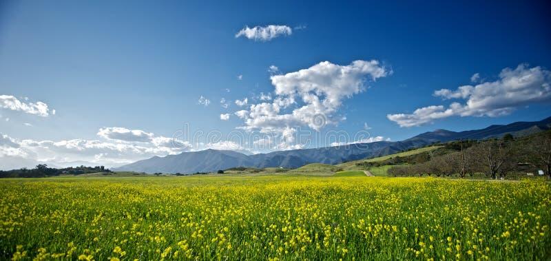 Senf-Blüten in einem Kalifornien-Frühling lizenzfreie stockfotos