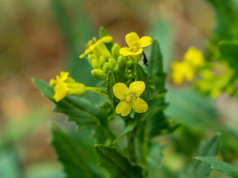 Senf-Blumen, Napa Valley Makromodus Senfblume Sinapis Aiba-Gelb bl?ht und Anlage, Natur stockfotos
