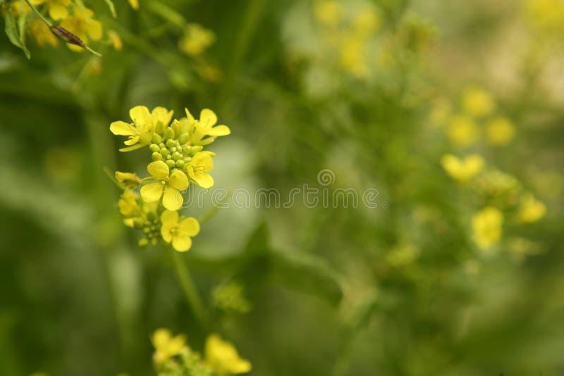 Senfblume Sinapis Aiba gelbe Blumen und Winkel des Leistungshebels stockbilder