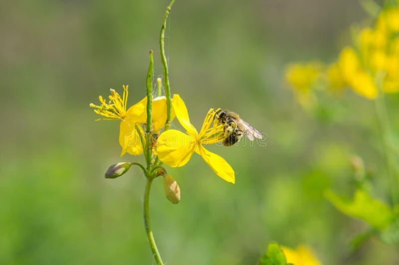 Senfblumen und eine Biene lizenzfreies stockfoto