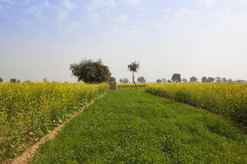 Senfernten in Rajasthan stockbilder