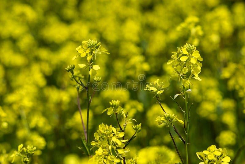 Senffeld, gelber blühender Senf lizenzfreie stockfotografie
