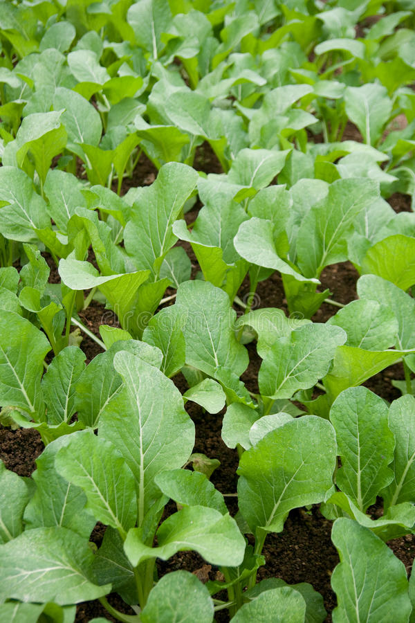 Senfgrüns am Gemüsebauernhof lizenzfreie stockfotos