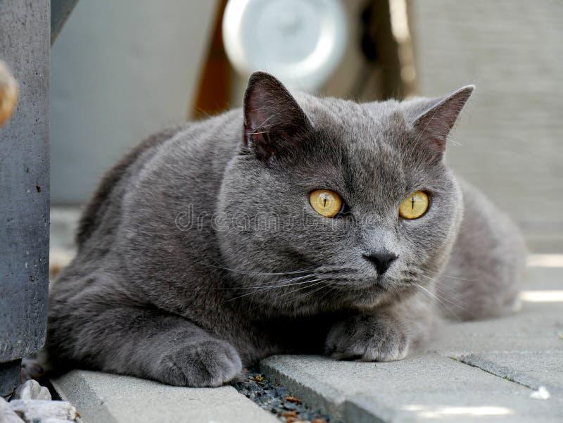 SENHOR do retrato do gato imagens de stock royalty free