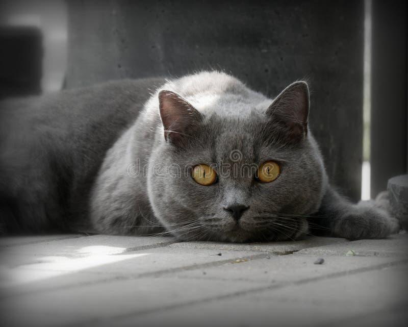 SENHOR do retrato do gato imagens de stock