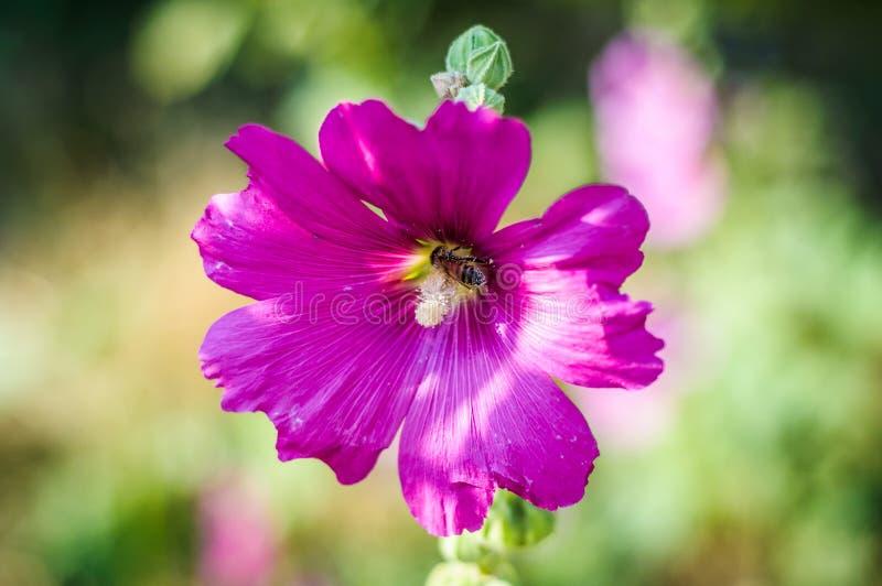 Senhora cor-de-rosa Flower With uma abelha nela fotografia de stock royalty free