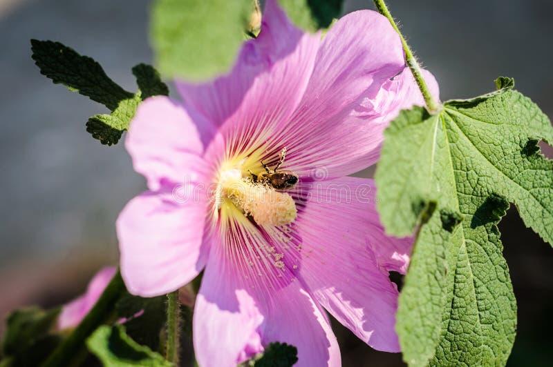 Senhora cor-de-rosa Flower With uma abelha nela foto de stock