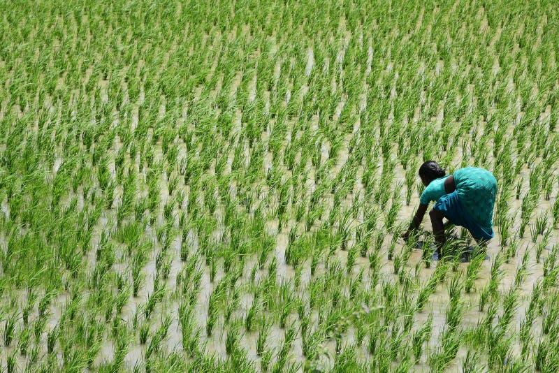 Senhora indiana em um campo do arroz sob o sol duro imagens de stock royalty free