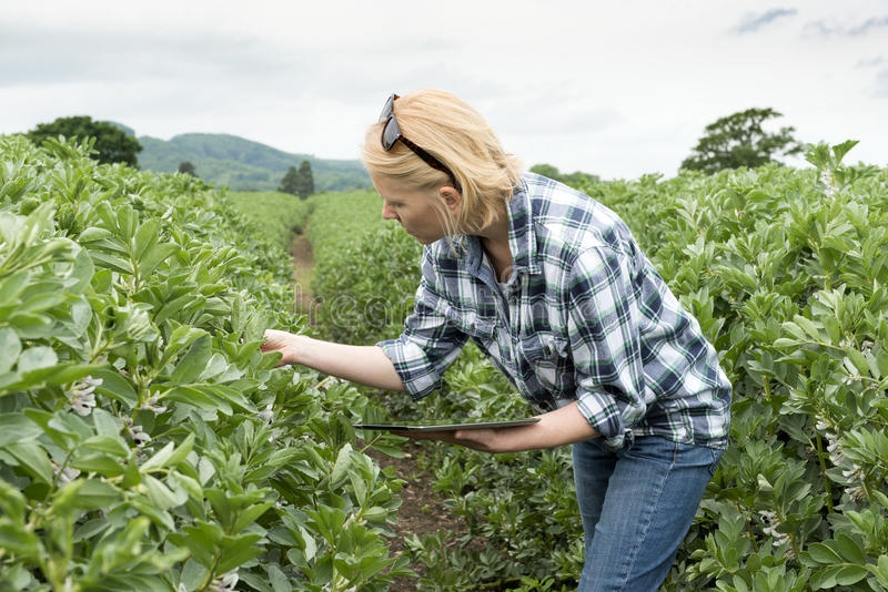 Senhora Inspects uma plantação ao guardar um tablet pc fotografia de stock royalty free