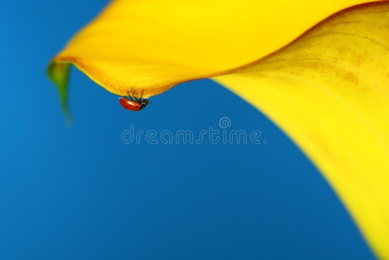 Senhora macro Erro em um Lilly amarelo foto de stock royalty free