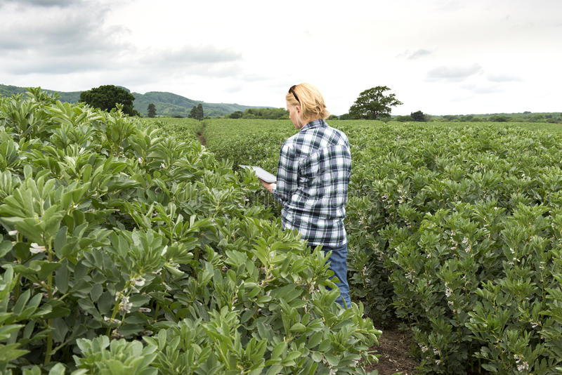 Senhora na plantação exterior que olha para a tela de tablet pc imagem de stock