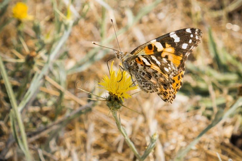 Senhora pintada borboleta (cardui de Vanessa) empoleirada em um cardo amarelo da estrela (solstitialis do Centaurea) que floresce foto de stock