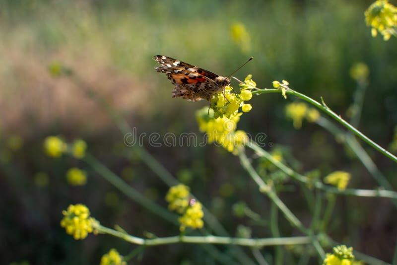 Senhora pintada Butterfly com as asas fechados na haste da planta com as flores amarelas no fundo imagem de stock royalty free