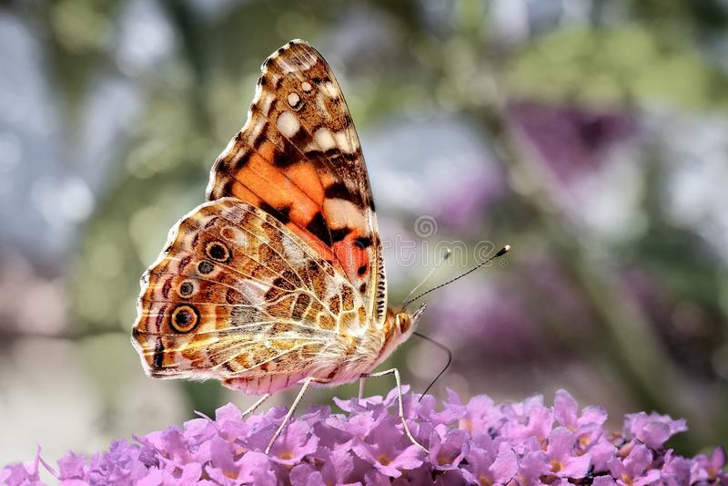 Senhora pintada Butterfly em uma cabeça de flor com fundo do bokeh imagens de stock