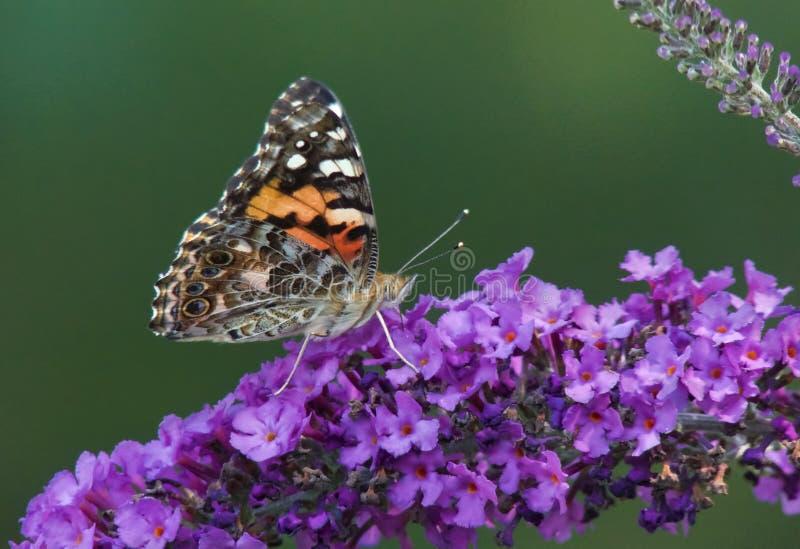 Senhora pintada Butterfly na borboleta Bush fotografia de stock royalty free