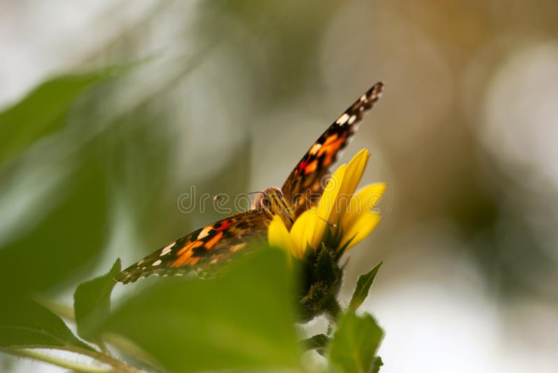 Senhora pintada Butterfly no girassol amarelo fotografia de stock