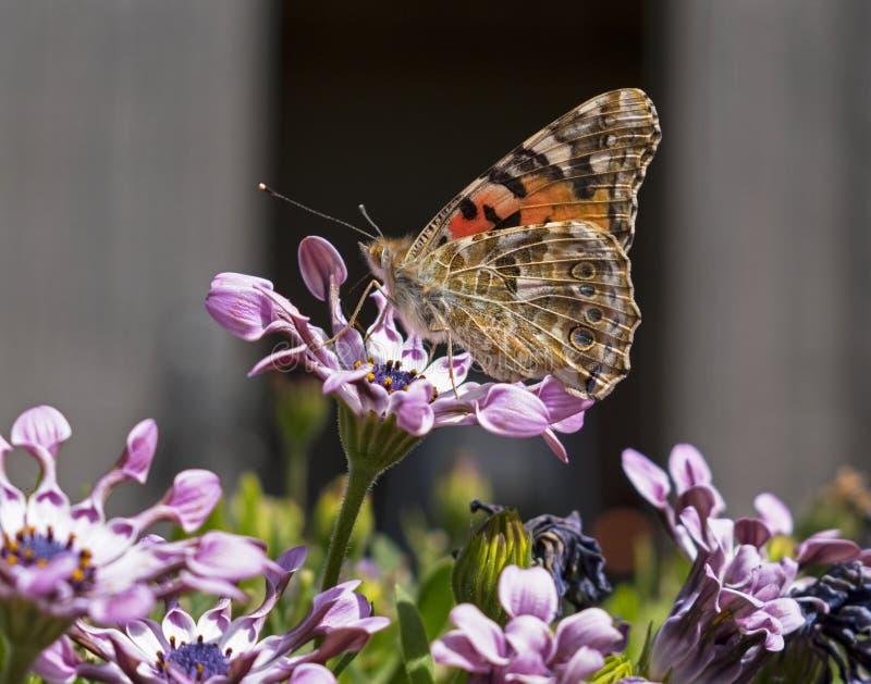 Senhora pintada Butterfly Profile com asas abertas imagens de stock