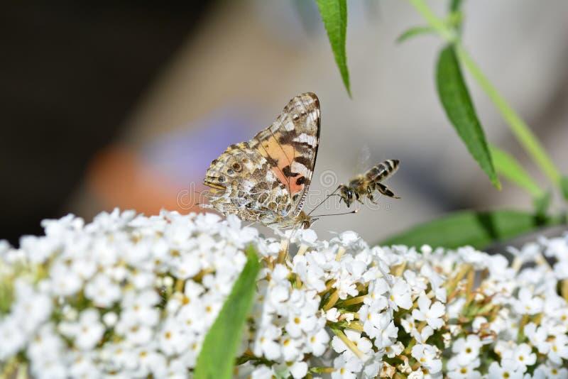 Senhora pintada com uma abelha de voo no lilás branco do verão na natureza imagens de stock