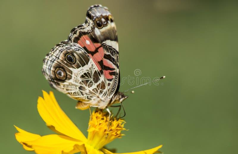 Senhora pintada pequena Butterfly que alimenta em um Zinnia amarelo foto de stock