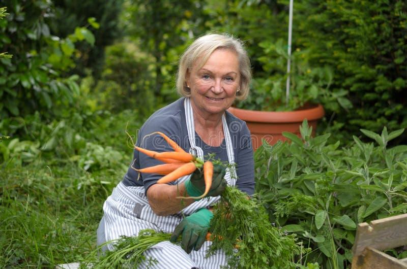 Senhora superior no jardim que guarda cenouras fotografia de stock