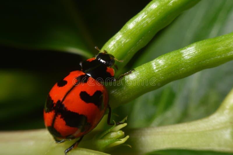 Senhora vermelha Bug fotos de stock