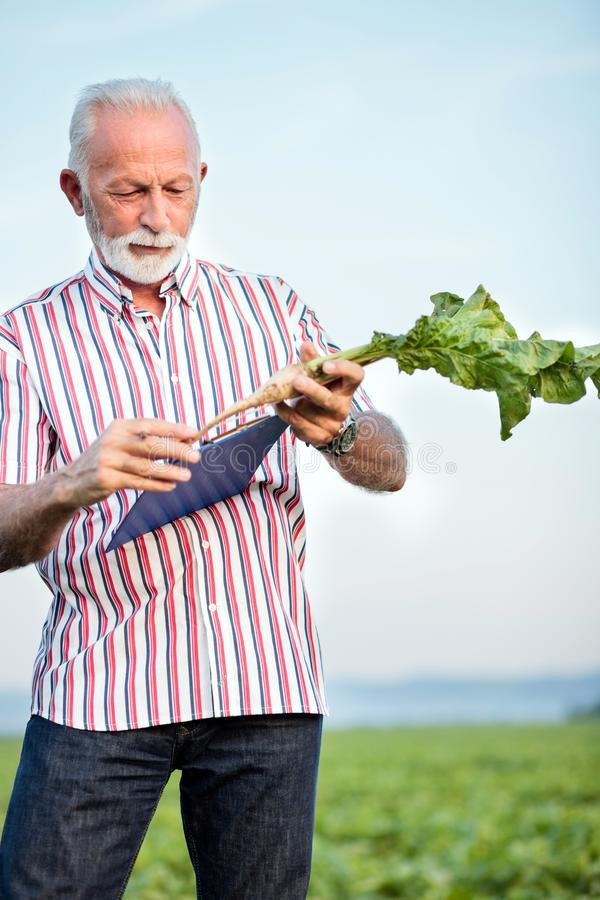 Senior agronomist or farmer measuring sugar beet roots with a ruler and writing data into questionnaire. Organic food production royalty free stock photography