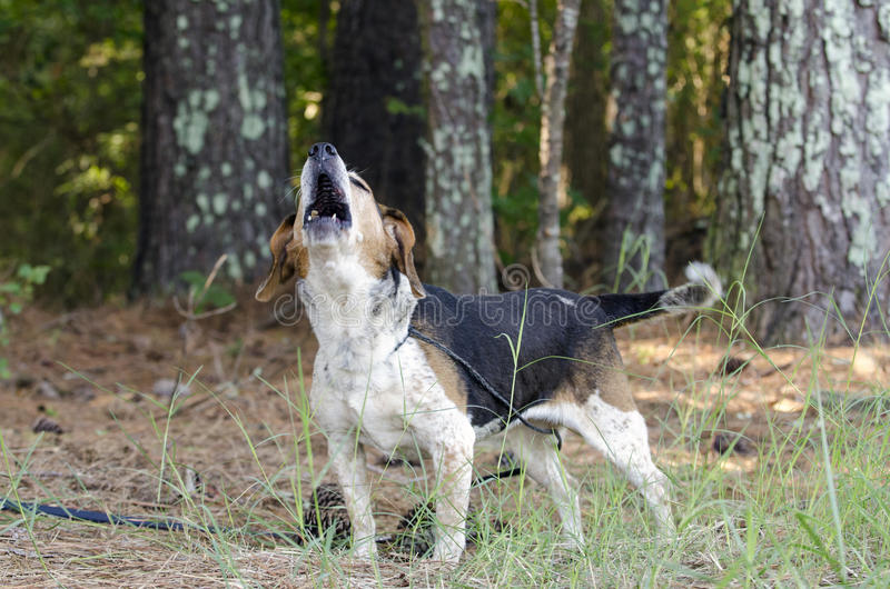 Senior Beagle Dog barking howling baying royalty free stock photography