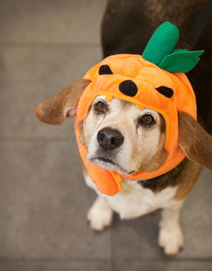 Senior beagle dog wearing Halloween pumpkin costume looking up. Elderly beagle dog wears Halloween pumpkin costume on his head. He looks up at camera with his royalty free stock photos