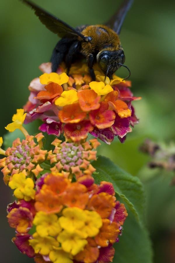 Download Senior Bee stock image. Image of nectar, pollen, yelloe - 6640325