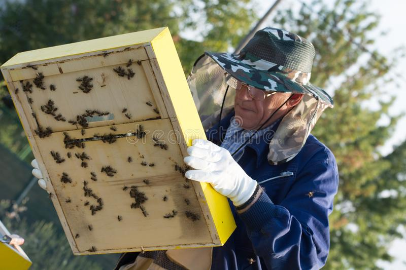 Senior beekeeper checking a beehive to ensure health of the bee stock image
