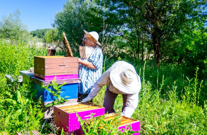 Two elderly apiarists, beekeepers are checking bees on honeycomb. Senior beekeepers are taking out the honeycomb on wooden frame to control situation in bee royalty free stock images