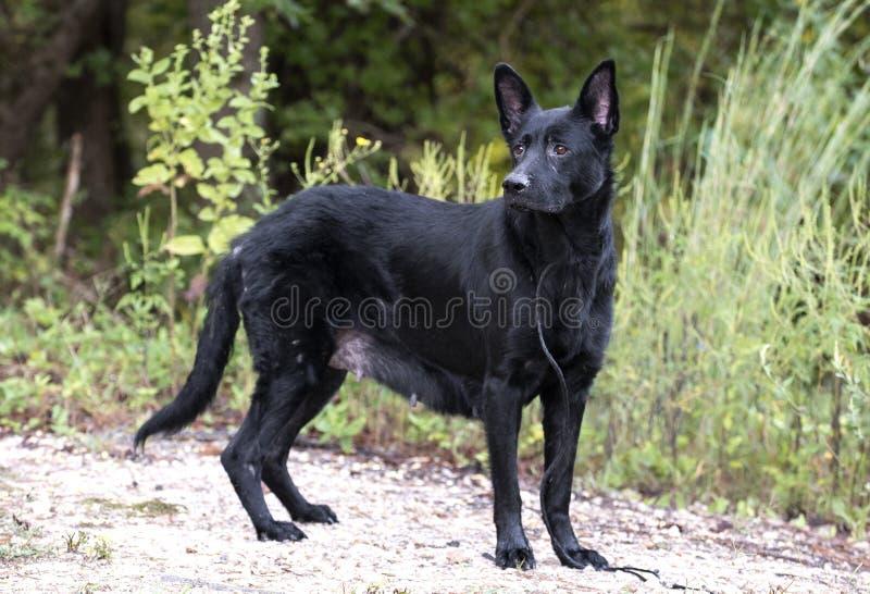 Senior Black German Shepherd Dog stock image